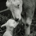 Lambing Tours: Cotswolds