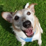Oscar - Gender: Male - Age: 11 Years Old - Breed: Terrier