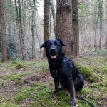 Alfie - Age: 3.5 - Gender: Male - Breed: Lab X GSD