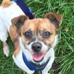 Robert - Age: 6 - Gender: Male - Breed: Chihuahua X JRT