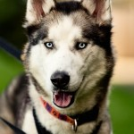 Zane - Age: 4 - Gender: Male - Breed: Husky