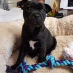 Luigi - Age: 8 weeks - Gender: Male - Breed: SBT X Pug