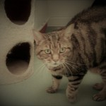 Tigra - Gender : Female Age : 12 yrs Breed : Dsh