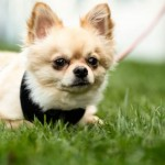 Toodles - Age: 3 - Gender: Male - Breed: Chihuahua (Long Coat)