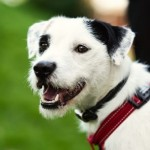 Trixie - Age: 18 Months - Gender: Female - Breed: Patterdale x Collie