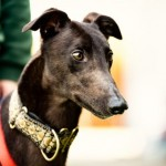 Rival **PET OF THE MONTH** - Age: 4 - Gender: Male - Breed: Greyhound