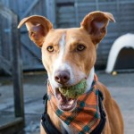 Donny - Age: 3 Years Gender: Male Breed: Bull Lurcher