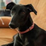 Kali *ON FOSTER* - Age: 1-3 - Gender: Female - Breed: Lurcher