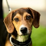 Thor - Age: 5.5 Months - Gender: Male - Breed: Beagle X