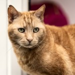 Atkins - Gender : Male Age : 9 yrs Breed : Dsh