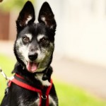 Wolfie - Age: 6 years old - Gender: Female - Breed: Husky X