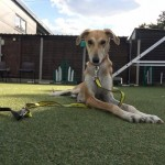 Biscuit - Age: 4-5 years - Gender: Female - Breed: Saluki X
