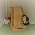 Hazza & Meg - Gender : Male and Female Age : 3 mths Breed : Dsh