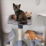 Nisa and Sainsbury - Gender : Female & Male (Grey Torti and Dark Ginger) Age : 3 mths Breed : Dsh
