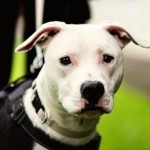 Parker - Age: 1 year - Gender: Male - Breed: SBT X