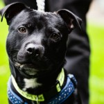 Cyril - Age: 2 Years old  - Gender: Male - Breed: SBT X