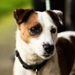 Joey - Age: 7 years - Gender: Male - Breed: JRT