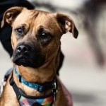 EC3 - Age: 1 Year  - Gender: Male - Breed: SBT X Boxer X