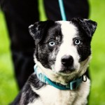 Blue - Age: 10 Years - Gender: Male - Breed: Border Collie