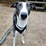 Chase - Age: 10 Months - Gender: Male - Breed: Lurcher