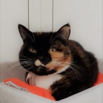 Tilly - Gender : Female Age : 9 yrs Breed : Dsh