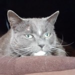 Jeffrey - Gender : Male Age : 6 yrs Breed : Russian Blue X