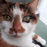 Sammy - Gender : Female Age : 7 yrs Breed : Dsh