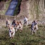 RAC Beagles - Bank Holiday Beagle Champion Hurdle