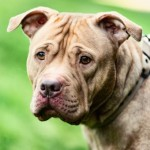 Little Pig - Age: 6 Years - Gender: Female - Breed:  Shar Pei X SBT
