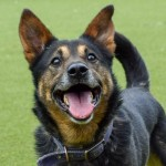 Logan - Age: 4 Years - Gender: Male - Breed:  German Shepherd X