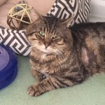 Neil (Indoor) - Gender : Male Age : 4yrs Breed : Dsh