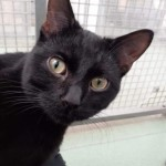 Patch - Gender : Male Age : 1 yr Breed : Dsh