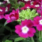 Rare Plant Fair Open Garden Highnam Court