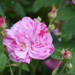 Prestbury Open Gardens Weekend - 4th & 5th September